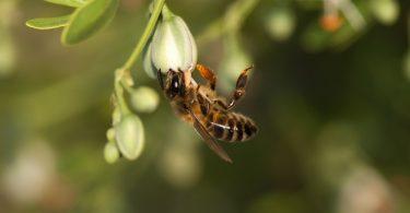 Abelha melifera em plantação