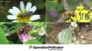 Espécies de insetos polinizadores encontrados nos olivais da Elaia (besouro, mosca-das-flores, abelha, borboleta)