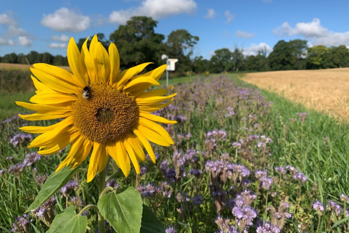Margem multifuncional Operation Pollinator em exploração agrícola em Lystrup Gods, na Dinamarca. (Foto: FaunaPhotonics)