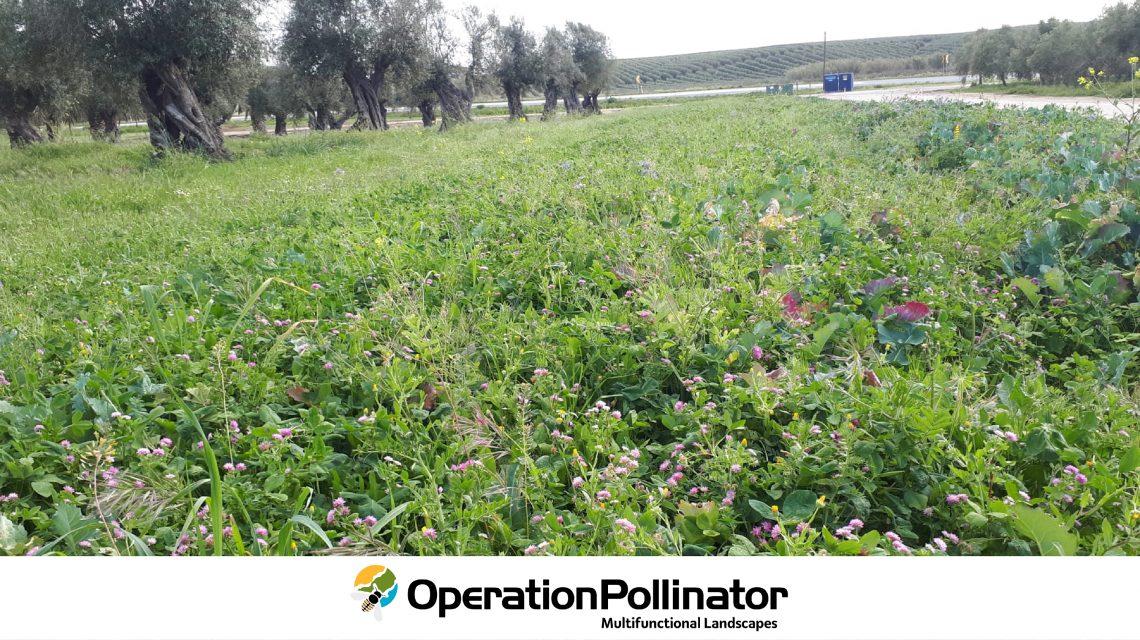 Margem multifuncional Operation Pollinator instalada na Herdade do Marmelo, Ferreira do Alentejo